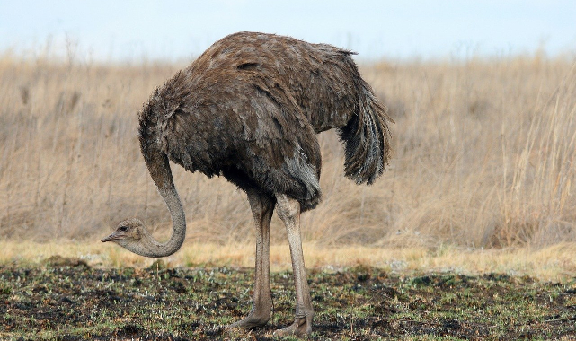 Deve kuşları kafalarını kuma gömer mi?
