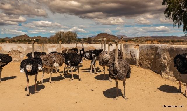 Deve kuşu çiftliği nasıl kurulur?